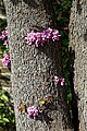 Cercis siliquastrum Judas tree flowering trunk at Myddelton House, Enfield, London 01.jpg