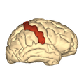 Cerebrum - postcentral gyrus - lateral view.png