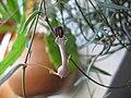 Ceropegia linearis ssp. woodii3.jpg