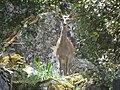 Cervus elaphus.001 - Monfrague.JPG