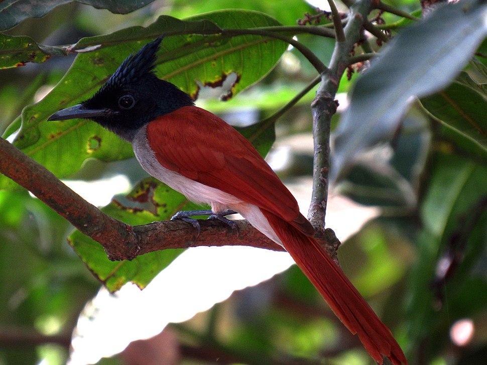 Ceylon paradise flycatcher (female) - Sri Lanka - 02