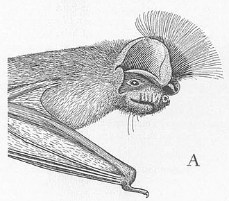 Gallagher's free-tailed bat - Male Chapin's free-tailed bat displaying its interaural crest