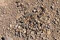 Chaetanthera euphrasioides (30310379640).jpg
