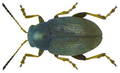 Chaetocnema hortensis (Geoffray, 1785).png