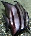 Chaetodipterus faber 13zz.jpg