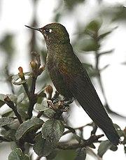 Chalcostigma herrani -NW Ecuador-6