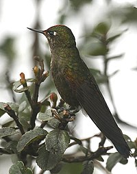 Chalcostigma herrani -NW Ecuador-6.jpg