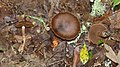 Champignon marron inconnu.jpg