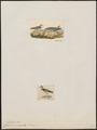 Charadrius melodus - 1700-1880 - Print - Iconographia Zoologica - Special Collections University of Amsterdam - UBA01 IZ17200241.tif