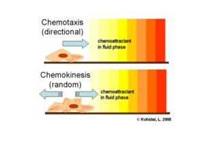 Chemokinesis - Image: Chemokinesis en