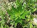 Chenopodium rubrum (s. str.) sl42.jpg