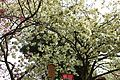 """Cherry-Blossom-Viewing through the """"Tunnel"""" at Japan Mint in 201504 012.JPG"""
