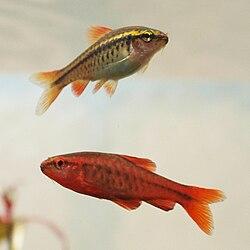 Femelle (en haut), et mâle (en bas)