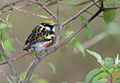 Chestnut-sided-warber-128.jpg