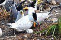 Chinese Crested Tern pair with Greater Crested Terns, China Sea.jpg