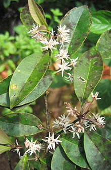 Chionanthus mala-elengi leaves and flowers.jpg