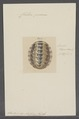 Chiton piceus - - Print - Iconographia Zoologica - Special Collections University of Amsterdam - UBAINV0274 081 06 0016.tif