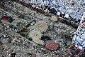 Chittenden Locks during large lock maintenance 007 - sea anemones.jpg