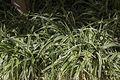 Chlorophytum comosum-Chlorophytum commun-20160603.jpg