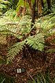 Christchurch Botanic Gardens, New Zealand section, Dicksonia squarrosa 2016-02-04.jpg