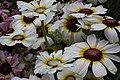 Chrysanthemum from lalbagh7261.JPG