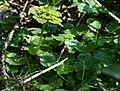 Chrysosplenium alternifolium 2.jpg
