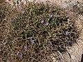 Cichorium spinosum Pembroke Range Malta 05 06 2010 05.jpg