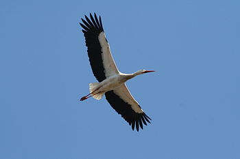 A White Stork flying over Münster Zoo, Germany.