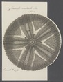 Cidarites radiata - - Print - Iconographia Zoologica - Special Collections University of Amsterdam - UBAINV0274 107 03 0012.tif