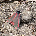 Cinnabar Moth on the North Downs Way - geograph.org.uk - 460709.jpg