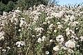 Cirsium arvense - Bliesen - Bauernstall - 2019-09-02, 2.jpg