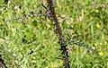 Cirsium palustre in Morzine (3).jpg