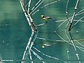 Citrine Wagtail (Motacilla citreola) (29546260295).jpg