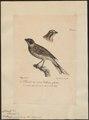 Citrinella pyrrhuloides - 1825-1830 - Print - Iconographia Zoologica - Special Collections University of Amsterdam - UBA01 IZ16100269.tif