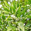 Citrus sinensis-IMG 9404.jpg