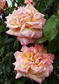 City of London Cemetery - flowering shrubs 17 Rose, Detail 02.jpg