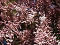 City of London Cemetery Leptospermum, Broom Tea-Tree Manuka Myrtle 3.jpg