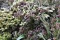 Cladonia cf. ramulosa (34993490383).jpg
