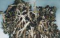 Cladonia farinacea-1.jpg