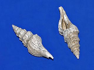 <i>Turricula</i> (gastropod) genus of molluscs