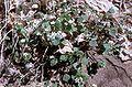 Claytonia perfoliata ssp perfoliata.jpg