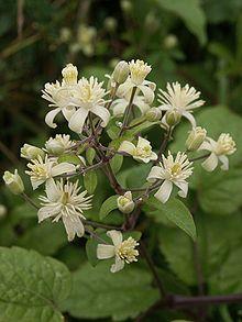 Clematis vitalba flowers 230702.jpg