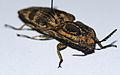 Click Beetle (Lycoreus regalis) (8541898178).jpg