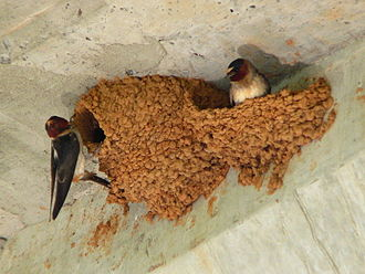 Swallow - Two American cliff swallows constructing mud nests