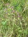 Clinopodium vulgare habitus 2 AB.JPG
