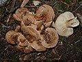 Clitocybe Sclerotoidea (32339724665).jpg