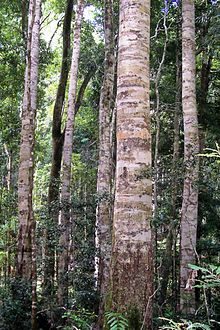 Coachwood -Nymboi-Binderay National Park.jpg