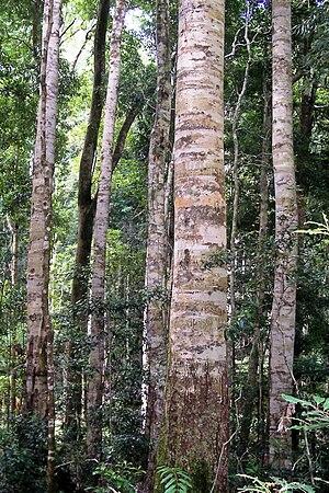 Nymboi-Binderay National Park - Coachwood at Nymboi-Binderay National Park