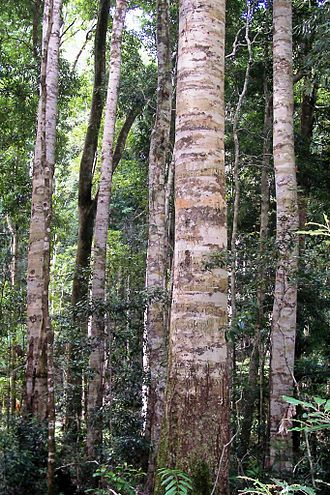 Ceratopetalum apetalum - Coachwood at Nymboi-Binderay National Park
