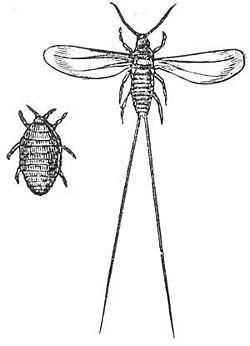 Dactylopius Coccus Wikipedia La Enciclopedia Libre